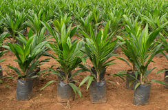 Oil palm sapling. In Thailand Royalty Free Stock Images