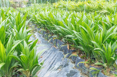Oil palm saplings with bifid leaves. At oil palm nursery Royalty Free Stock Photography