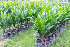 Oil palm saplings with bifid leaves. At oil palm nursery Royalty Free Stock Images