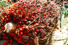 Oil Palm Seed Royalty Free Stock Image