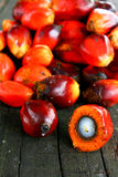 Oil Palm Seeds royalty free stock photos