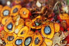 Oil palm seeds;oil palm bunch Royalty Free Stock Photo