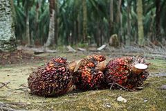 Oil palm seeds;oil palm bunch Royalty Free Stock Images