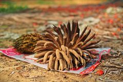 Oil palm seeds;oil palm bunch Stock Photos