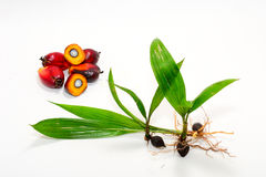 Oil palm seeds Royalty Free Stock Image