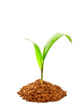 Oil palm sprout with soil. On white background Stock Photography