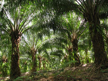 Oil palm tree. Garden oil palm tree at the south of Thailand Royalty Free Stock Photos