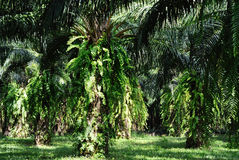 Oil palm tree Royalty Free Stock Photography