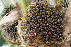 Oil palm on tree Royalty Free Stock Photos