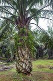 Oil palm tree royalty free stock images