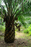 Oil palm tree Stock Images