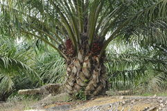 Oil palm tree Stock Photos