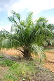 Oil palm tree Stock Photography