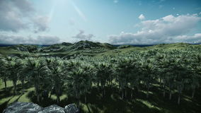 Oil Palm Tree Plantation against timelapse clouds, tilt. Hd video stock video
