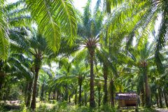 Oil palm tree plantation in Thailand stock images
