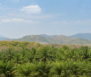 Oil palm tree in Thailand Stock Photos