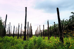 Oil palm trees, Agriculture Royalty Free Stock Images