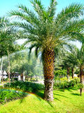 Oil palms. Oil palm plants are monocots and long lifespan and can live to 80 - 100 years Royalty Free Stock Photography