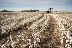 Texas Cotton Filed Textile Agriculture Oil Industry PumpJack. Oil production in a mature cotton field farm field southwest Texas royalty free stock photos