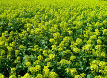 Oil rape - Brassica napus L. Oil rape selected in the flowering time Royalty Free Stock Photo
