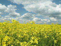 Oil Rape Fields. Oil Rape field and cloudy Sky Royalty Free Stock Photography