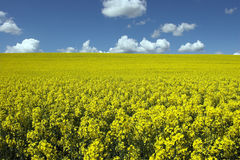 Oil rape fields Royalty Free Stock Photo