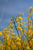 Oil flowers - agriculture, crop. Spring in the fields - agricultural plants - cultivated plants - oil Brassica napus stock photography