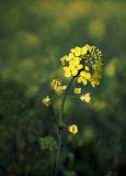Oil rape seed plant Stock Photos