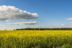 Oil rapeseed field Royalty Free Stock Photography