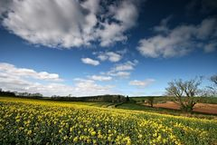 Oil Rapeseed field in the South. Yellow oil Rapeseed flowers are now a common sight in the fields around the U.K. This field shows its contrasting yellow against Stock Image