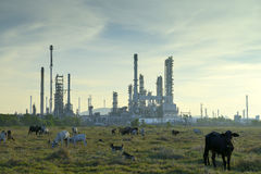 Oil refineries and cattle stock photos