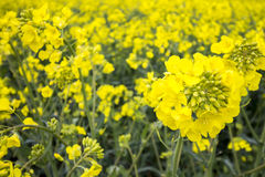 Oil Seed Field. Yellow Plant Detail stock photo