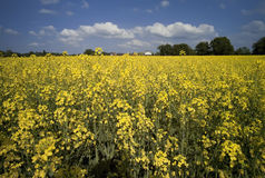 Oil seed rape Royalty Free Stock Image