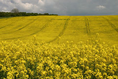 Oil seed rape. Field of oil seed rape as far as eye can see Royalty Free Stock Photography