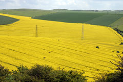 Oil seed rape. Large field of oil seed rape crop Stock Images