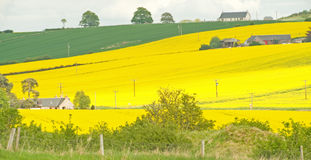 Oil seed rape. A rural image of with fields of oil seed rape in bloom Stock Photography