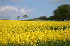 Oil seed rape. This is a wonderful field of oil seed rape on a glorious sunny day Stock Photo