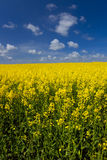 Oil Seed Rape. Flowering in the english countryside with blue sky Stock Photography