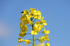 Oil seed rape Stock Images