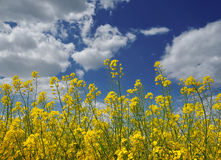 Oil seed rape Stock Image