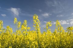 Oil Seed 2. Close up landscape shot of yellow flowering Oil Seed Rape, South Wales, UK stock image