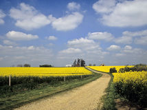 Oil seed rape Stock Photography