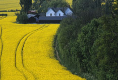 Oil seed rape Royalty Free Stock Photography