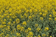 Oil seed rape (Canola). Is grown as vegetable cooking oil and bio fuel Stock Photo