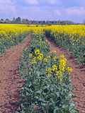 Oil seed rape (Canola). Is grown as vegetable cooking oil. Experiments are underway to use the extracted oil as a renewable bio fuel Royalty Free Stock Photo