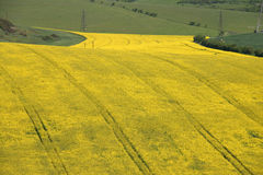 Oil seed rape crop. Large field of oil seed rape crop Stock Photos