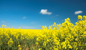 Oil Seed Field Royalty Free Stock Photos