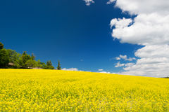Oil seed rape field against blue sky Stock Photos