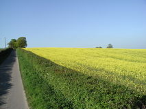 Oil seed rape in the field from the farm drive Stock Images