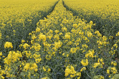 Oil Seed Rape Field. Landscape image of oil seed rape fields in flower taken in Tewin, England shows the extent it is now grown, as a vegetable oil to be used in Royalty Free Stock Photo